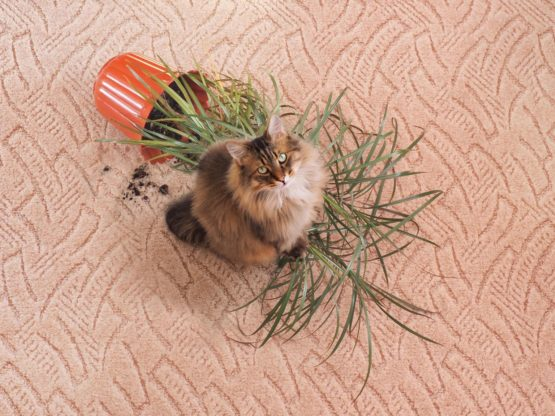 Fluffy cat looking up after knocking over a pot plant onto carpet